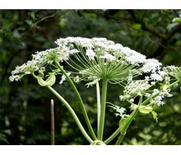 Hogweed burns: symptoms, first aid  and treatment